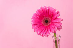 Gerbera on a pink background. Gerbera in a narrow glass vase on a pink background. The concept of femininity, women's health, gynecology Stock Images