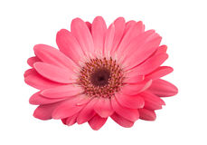 Gerbera Royalty Free Stock Photos