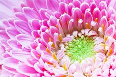 Gerbera Pink White Flower Stock Images