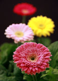 Gerbera plants Stock Photos