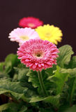 Gerbera plants Stock Photo