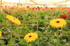 Gerbera plants inside nursery Stock Photography