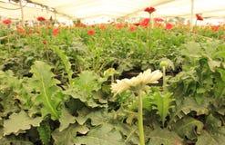 Gerbera plants inside nursery Stock Photos