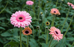 Gerbera  plants pink blooming with a dark heart Royalty Free Stock Images