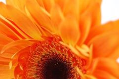 gerbera pomarańcze Fotografia Stock