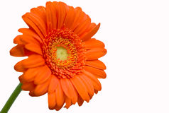 gerbera pomarańcze Zdjęcie Royalty Free
