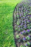 Gerbera porpora nel giardino Immagini Stock