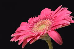 Gerbera pourpre Images stock