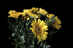 Gerbera Premium. Gerbera yellow flower with cool black background...  is a genus of ornamental plants from the sunflower family (Asteraceae). It was named in Stock Image