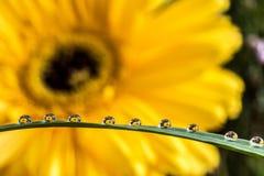 Gerbera przez wodnych kropel Fotografia Stock