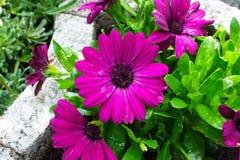 Gerbera purpur czerwień Zdjęcia Royalty Free
