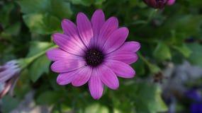 Gerbera purpur kwiat obrazy royalty free