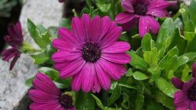 Gerbera purpur kwiat obraz royalty free