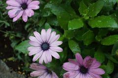 Gerbera purpur menchii kwiat obrazy stock