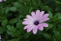 Gerbera purpur menchii kwiat fotografia royalty free