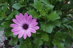 Gerbera purpur różowy kwiat zdjęcia stock