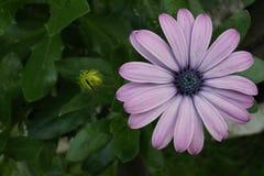 Gerbera purpur różowy kwiat obrazy royalty free