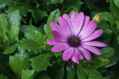 Gerbera purpur różowy kwiat zdjęcia royalty free