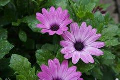 Gerbera purpurowy biały kwiat zdjęcia stock