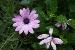 Gerbera purpurowy biały kwiat zdjęcie royalty free