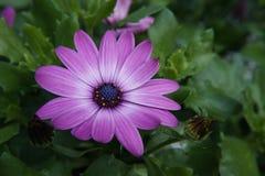 Gerbera purpurowy biały kwiat fotografia royalty free