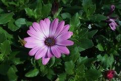 Gerbera purpurowy biel fotografia stock