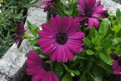 Gerbera purpurowy czerwony kwiat obraz stock