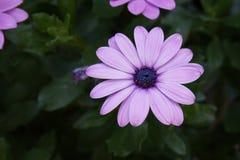 Gerbera różowe purpury zdjęcia stock
