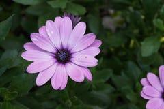 Gerbera różowe purpury obrazy royalty free