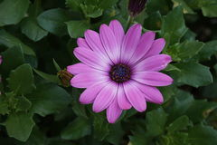 Gerbera różowe purpury obraz royalty free