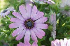 Gerbera różowe purpury fotografia stock
