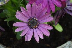 Gerbera różowe purpury fotografia royalty free