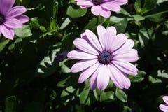 Gerbera różowy biel zdjęcia stock