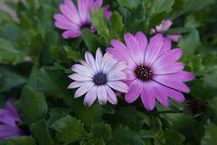 Gerbera różowy purpurowy biel obrazy stock