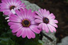 Gerbera różowy purpurowy biel obrazy royalty free