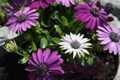 Gerbera różowy purpurowy biel obraz royalty free