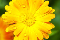 Gerbera with raindrops Stock Photos