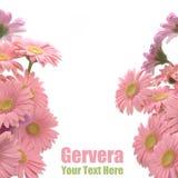 gerbera ramowe menchie Zdjęcie Royalty Free