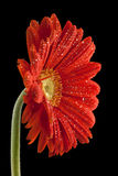 Gerbera. Red gerbera on a black background in the dew Stock Photos