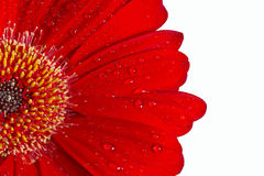 Gerbera red daisy Stock Photo