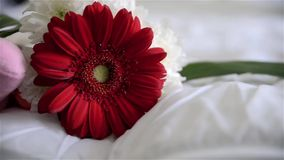 Gerbera red stock video footage