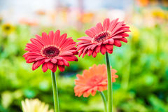 Gerbera red yellow orange white. Color stock photography