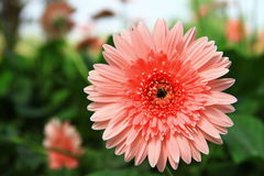 Gerbera refreshed. It will give you fresh with Gerbera Stock Image