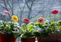 gerbera rośliien garnka wiosna Zdjęcia Royalty Free