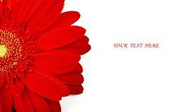 Gerbera rojo Foto de archivo