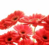 Gerbera rojo Fotos de archivo libres de regalías