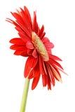 Gerbera rojo Fotografía de archivo libre de regalías