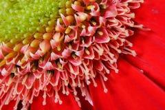 Gerbera rojo Imagenes de archivo