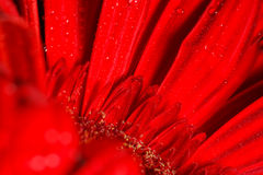 Gerbera rojo Fotos de archivo