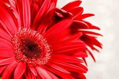 Gerbera rojo imagen de archivo libre de regalías